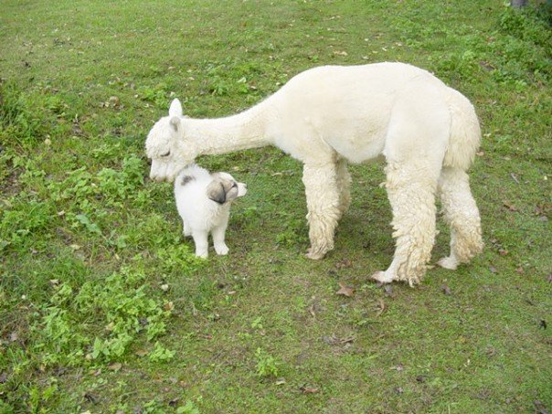 Our Peruvian alpaca Sergio & Mayhem, the dog. Sergio has passed, but May is doing well and all grown up! This was from 2007.